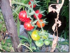 Tomateiros com tomate cereja