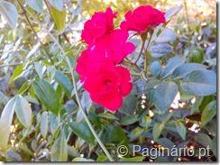 Roseira com rosinahs vermelhas
