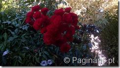 Roseira com rosinhas vermelhas