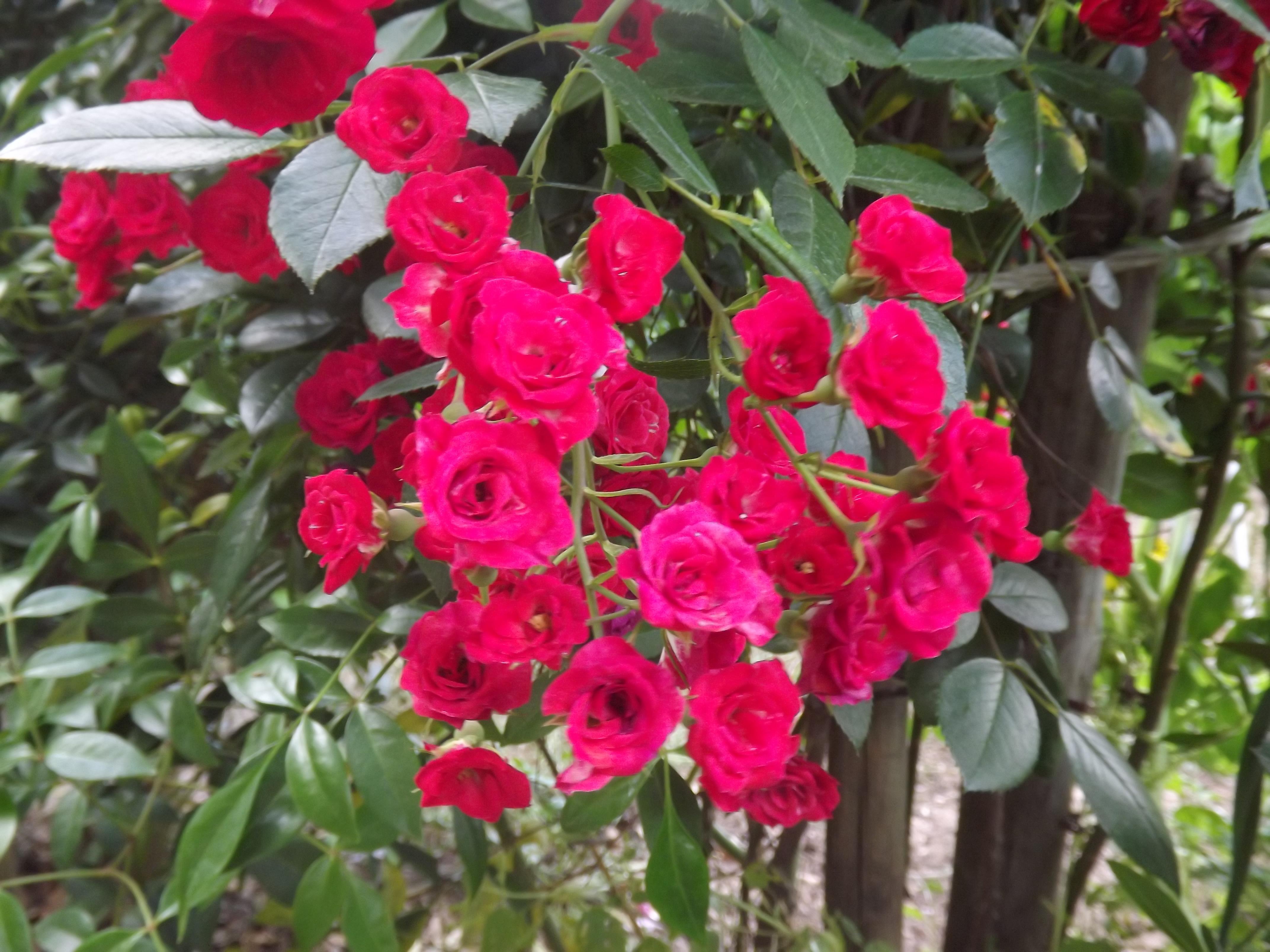 Roseira sarmentosa