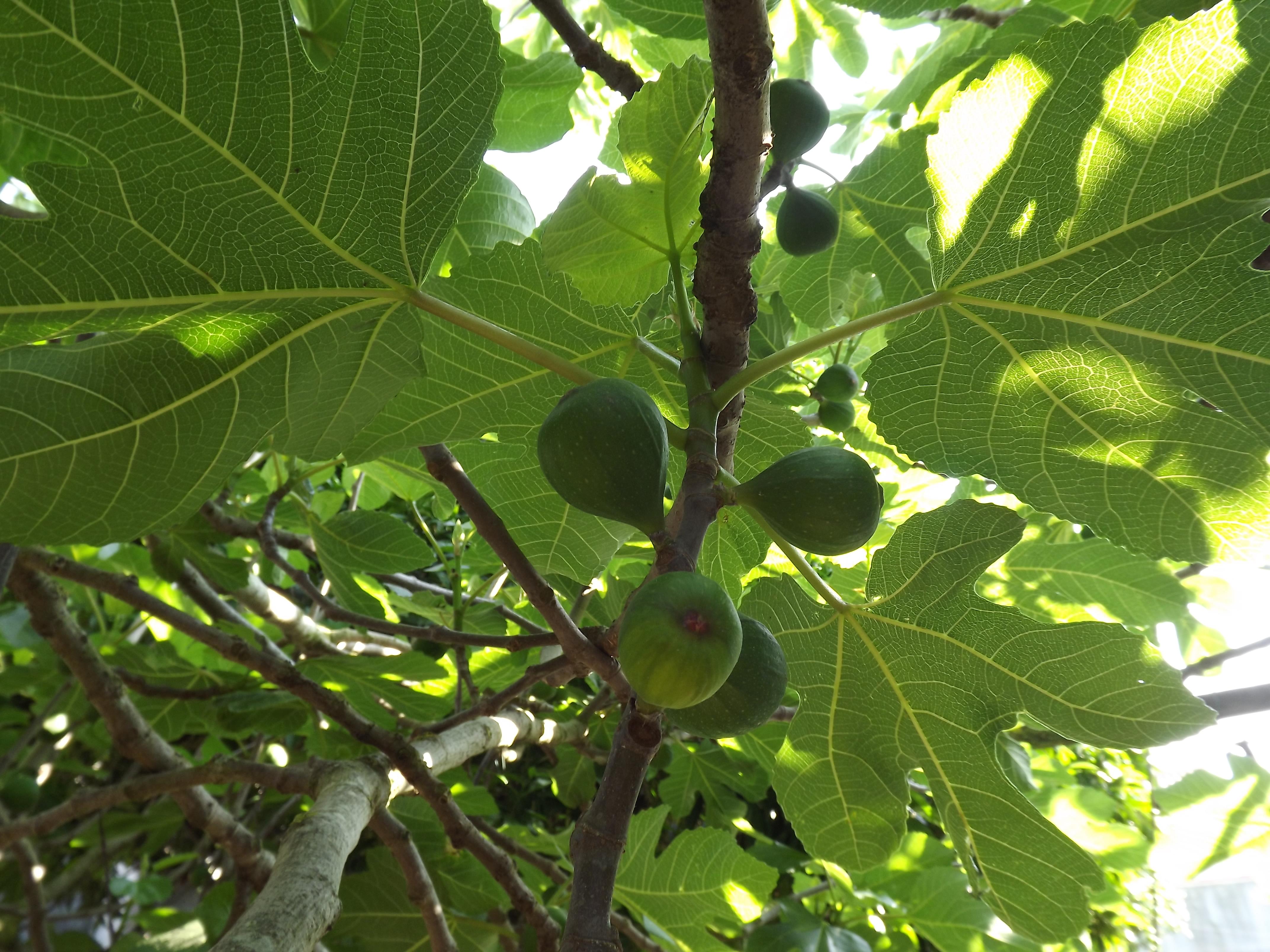 Figueira (Ficus carica)